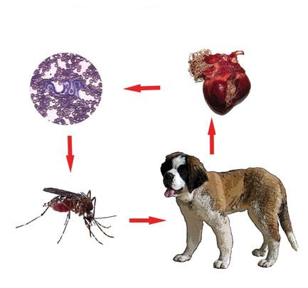 dirofilarioza-canina