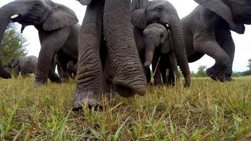 Uriasii timizi! Cum reactioneaza un grup de elefanti cand gasesc o camera de filmat?