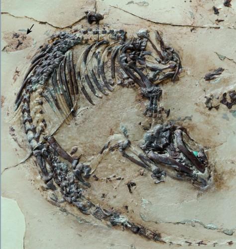 """Descoperire de exceptie: """"ghem dragut de blana"""", cel mai bine conservat mamifer din epoca dinozaurilor"""
