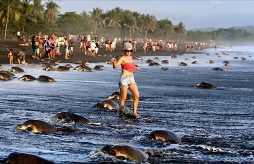 Turisti inconstienti! Au intrerupt ciclul depunerii oualelor de catre broastele testoase!