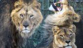 Redati salbaticiei! Cinci lei, chinuiti in Romania, pleaca astazi spre Africa!