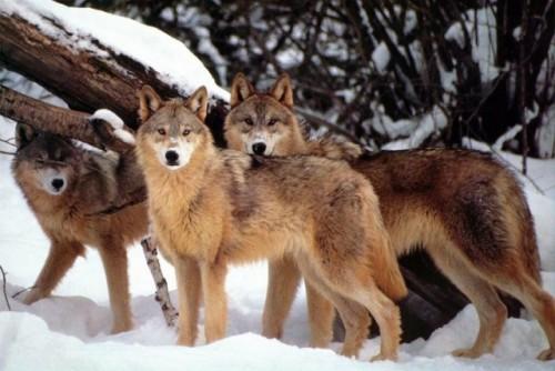 Sa fie oare o minune? Intamplare adevarata sau poveste ireala? O haita de lupi a ajutat la nasterea unui bebelus!