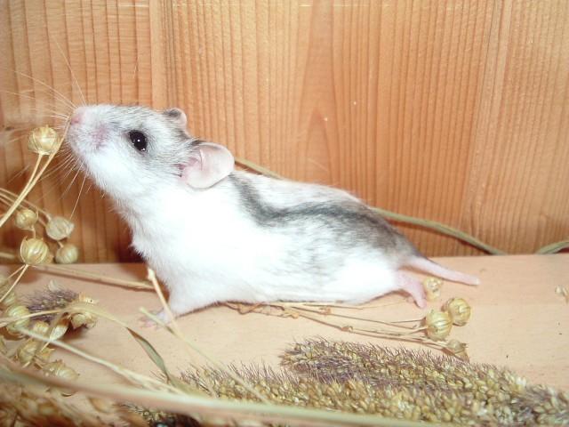 hamster-chinezesc-640