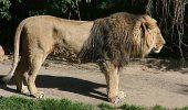 """Leul """"comunal"""" mutat din Anglia in Franta, apoi din nou in Anglia, pentru reproducere"""