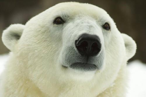 A murit Klondike, ursul polar cel mai batran din SUA. Vezi cine detine, acum, recordul de longevitate!
