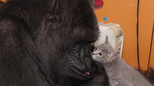 Cu adevarat emotionant: O gorila a adoptat pisici, pentru ca ea nu a avut niciodata pui!