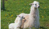 Avertismentul OMS privind carnea rosie continua sa provoace reactii: Mancati lama, sfatuiesc autoritatile boliviene!