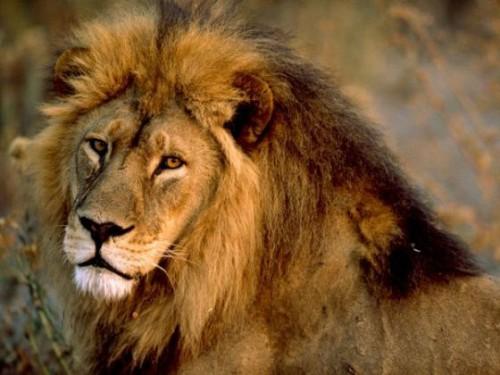 Urmatorii 20 de ani, critici pentru leii africani!