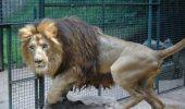 """Se intampla nebunii si la case mai """"civilizate""""! Un leu sanatos de la zoo a fost ucis, iar acum va fi disecat in fata publicului!"""