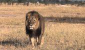 Aproape ca scapa nepedepsit: dentistul care a ucis leul Cecil nu va fi judecat in Zimbabwe