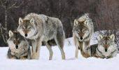 Norvegia vrea să ucidă 47 din cei 68 de lupi de pe teritoriul său