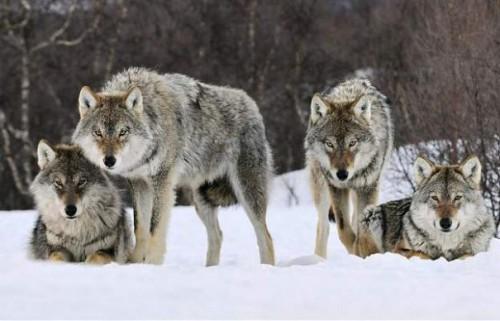 11.571 de vanatori s-au inscris in cursa pentru uciderea a 16 lupi, in Norvegia