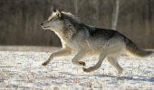 Domesticirea cainilor, proveniti din lupii suri, s-a facut in…Asia Centrala! Nu in Europa, Orientul Apropiat sau Siberia, cum se credea pana acum!