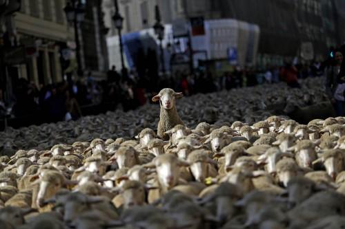Asa DA manifestatie! Peste 2.000 de oi au blocat centrul Madridului!