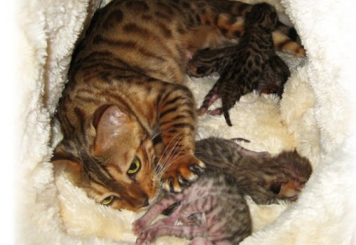 Gestatia si fatarea, la pisica