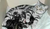 pisica cu pui