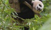 Au ucis si vandut un urs panda