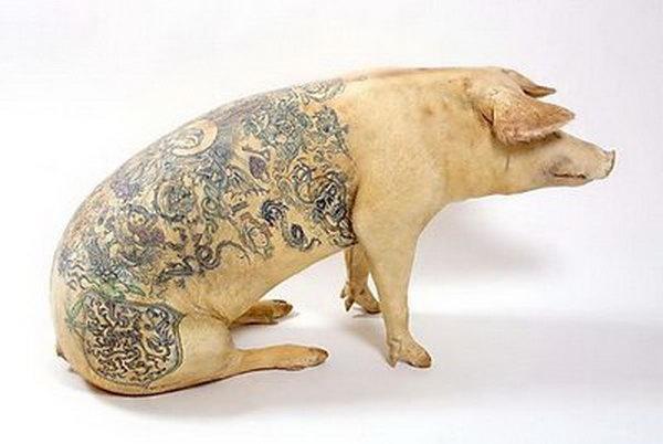 porc tatuat