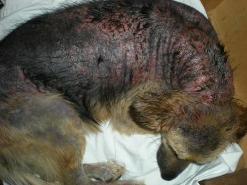 Râia sarcoptică sau demodectică, INAMICUL câinilor și al propietarilor lor