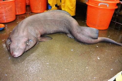 O specie extrem de rara de rechin, in apele din largul costei de Vest a Scotiei