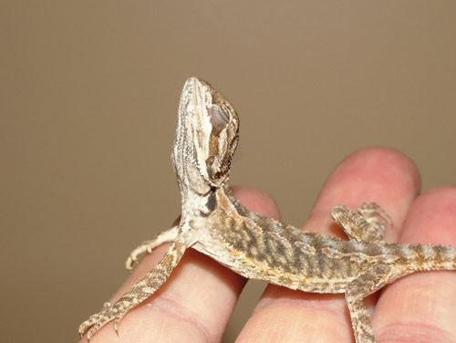 Reptilele visatoare sau o afectiune usor de identificat