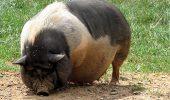 Cai, nutrii si porci vietnamezi, de vanzare, la Zoo!