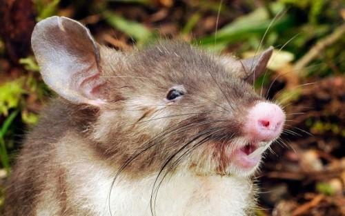 UIMITOR! Acțiune de urgență pentru salvare unui șobolan gras blocat într-o gaură de canal