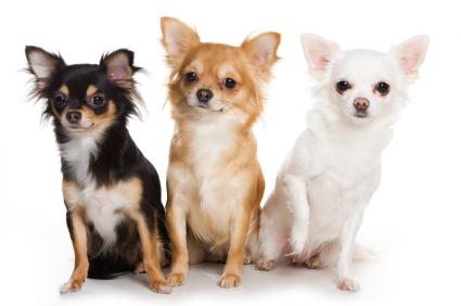 Chihuahua sau cel mai mic caine din lume!