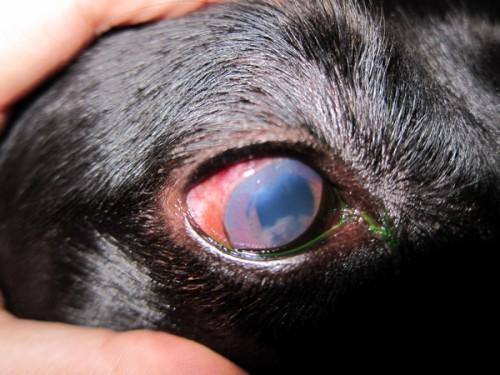 Daca are ochii rosii, lacrimeaza si sunt inflamati – ar putea avea uveita!