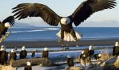 Bald Eagle (Haliaeetus leucocephalus),