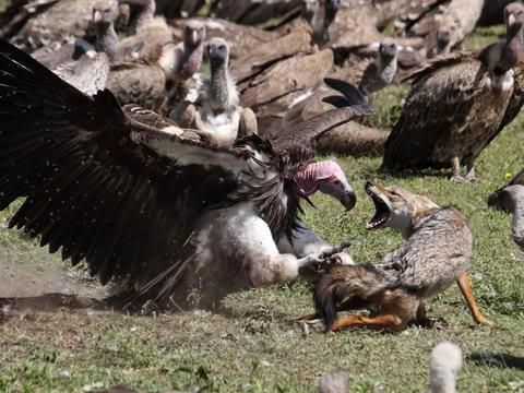 Avertisment IUCN: Declin rapid al populatiei de vulturi din Africa. Pasarile mor otravite!