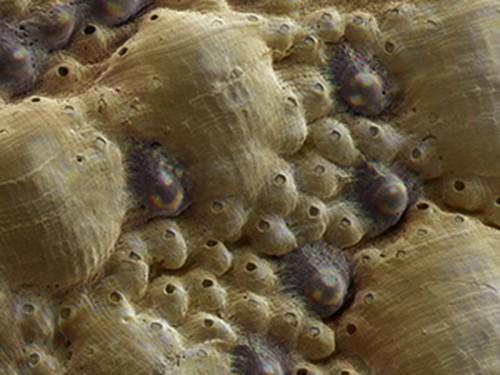 Singura molusca ce are ochii in interiorul cochiliei, in analiza oamenilor de stiinta! Pe viitor s-ar putea dezvolta tehnologii noi de protectie, dupa modelul speciei de chiton