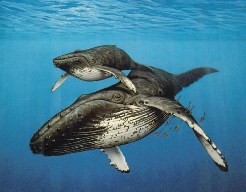 Un pui de balena cu cocoasa a fost salvat din incurcatura unei franghii de pescuit