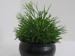 Cactus Euphorbia tirucalli