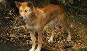 Cainele Dingo – motivul disparitiei lupului marsupial sau a diavolului tasmanian