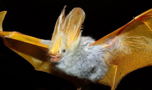 """Liliacul de """"aur"""" – o specie unica, ce traieste doar in padurile din Bolivia. Nu s-a reusit prinderea niciunui exemplar viu, pentru studiu!"""