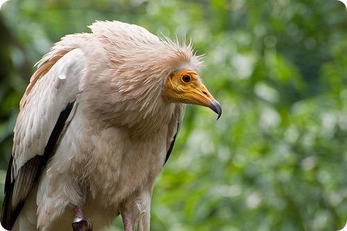 Vultur Hoitar1