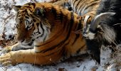 Siberian tiger bonds with goat in Primorye Safari Park