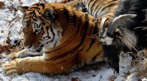 INCONSTIENTA sau PRIETENIE ADEVARATA? Un tap s-a imprietenit cu un tigru siberian, chiar in cusca acestuia din urma…