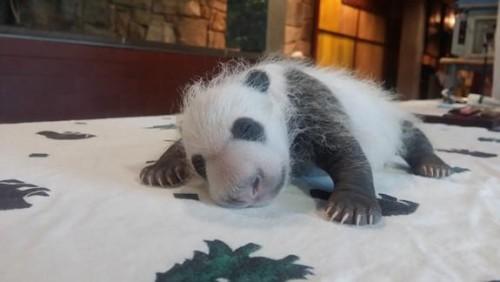 Ceva frumos tare! Primii pasi ai unui ursulet panda…