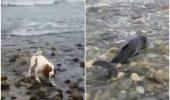 Stim ce-ai facut asta vara! Un caine a salvat un delfin care esuaze pe o plaja!