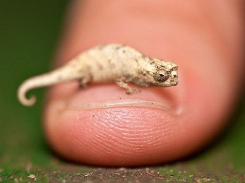 MINUSCUL! Cel mai mic cameleon din lume are doar 16 mm!
