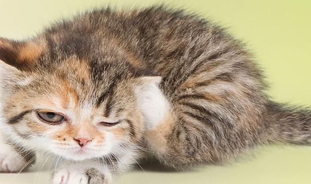 de ce slabesc pisicile