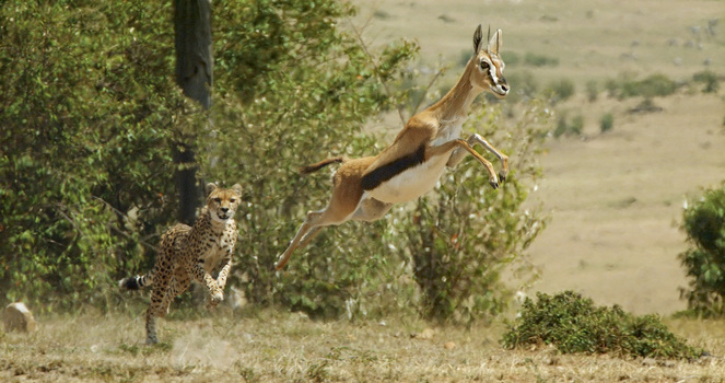 Picture Shows:  Cheetah chasing female thompson gazelle. Masai Mara National Park, Kenya. Cheetah's are the fastest land animals on the planet - reaching a top speed of nearly 60mph, 10mph faster than the gazelle. In this shot, the gazelle is 'pronking' - a high leap to show the predator it is fit and not worth chasing.