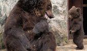 EMOTIONANT!…Mama urs isi cearta puiul, apoi il iubaceste putin!