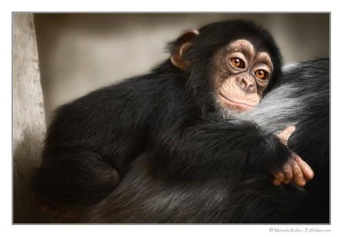 Cimpanzeii au o grija deosebita deosebita fata de puii cu handicap