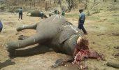 elefant cap