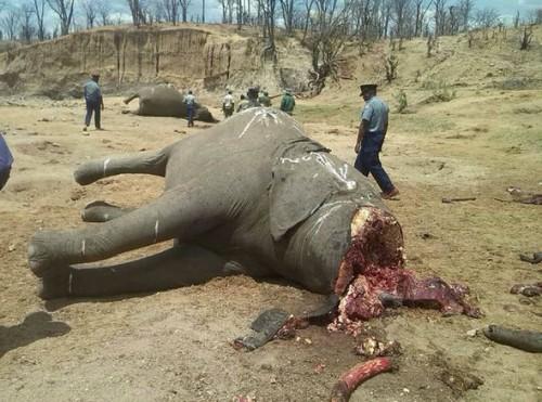 Protest sau dementa? Elefantii din Zimbabwe sunt decapitati de catre ingrijitorii lor, pentru ca acestia nu si-au primit lefurile!