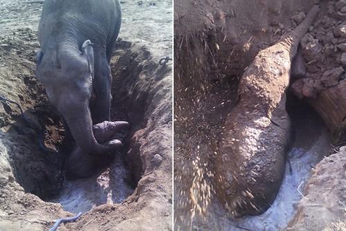 Dovezi peste dovezi! 11 ore a incercat un elefant sa-si salveze puiul dintr-o groapa cu noroi