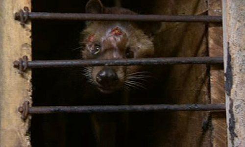 Dupa foie gras, o noua pasiune a bogatilor lumii! Animale indopate cu forta pentru producerea celei mai scumpe cafele din lume!